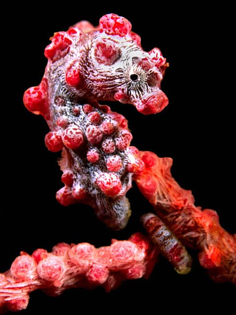 Pygmy Seahorse - copyright Allan & Barbara Jones