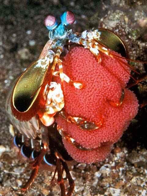 Mantis Shrimp with Egg Clutch - copyright Allan & Barbara Jones