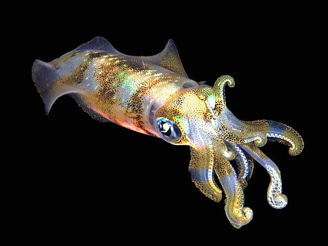 Exquisite Squid - copyright Allan & Barbara Jones