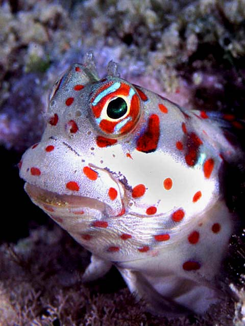 Beautiful Blenny - copyright Allan & Barbara Jones