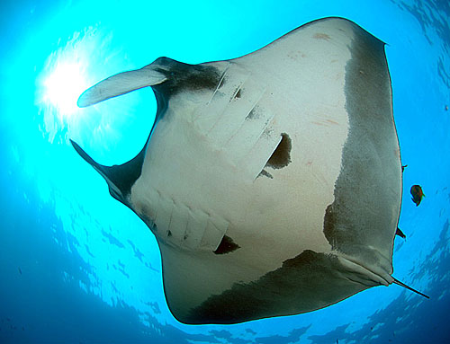 Manta Ray at Socorro - copyright Ken Knezick, Island Dreams