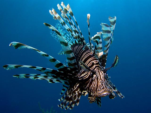 Lion Fish - Copyright Ken Knezick, Island Dreams