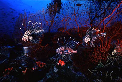 Lion Fish Triumverate