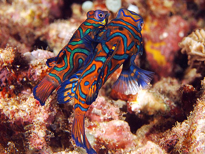 Mandarin Fish / Synchiropus splendidus - copyright Ken Knezick, Island Dreams