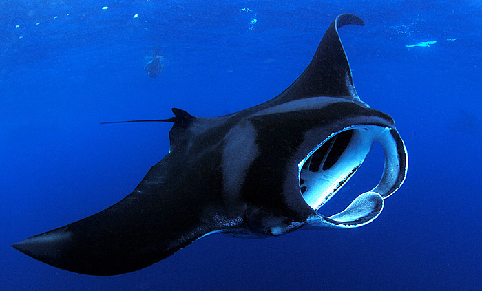 Manta Ray at Isla Mujeres, Mexico - copyright Ken Knezick, Island Dreams