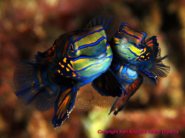 Mandarinfish at Lembeh