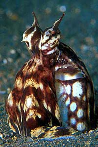 Mimic Octopus - copyright Ken Knezick, Island Dreams