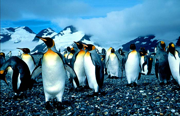 King Penguins - Copyright Amos Nachoum