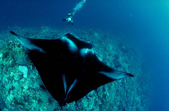 Giant Manta Ray - Copyright Amos Nachoum
