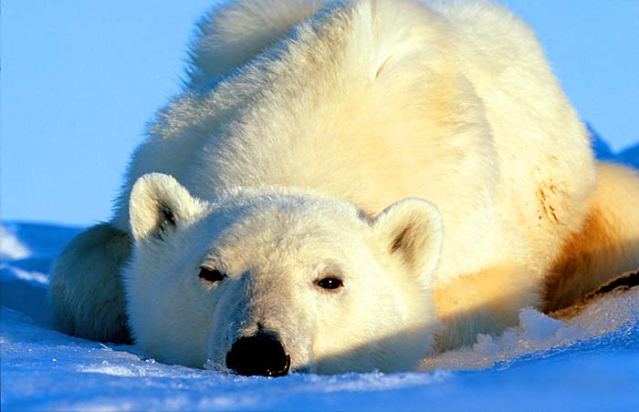 Polar Bear - Copyright Amos Nachoum