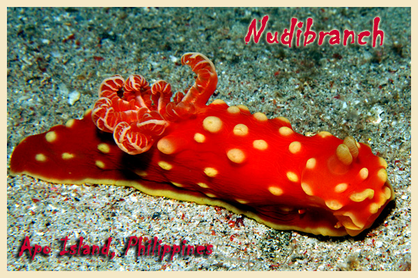 Apo Island Nudibranch - copyright Ken Knezick, Island Dreams