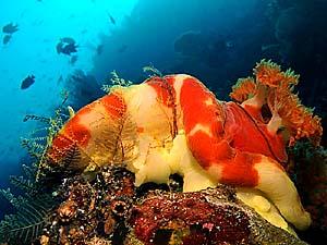 Hexabranchus Djibouti - Copyright Ken Knezick, Island Dreams