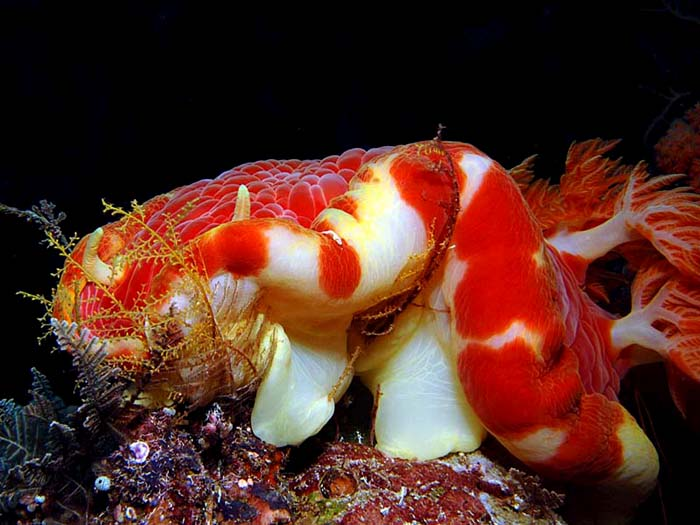 Hexabranchus Djibouti Eating Hydroid - Copyright Ken Knezick, Island Dreams