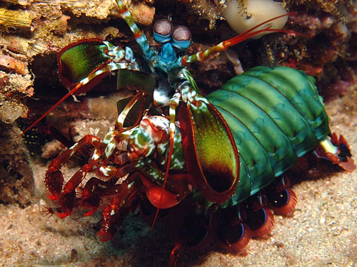 Manthis Shrimp - copyright Ken Knezick, Island Dreams