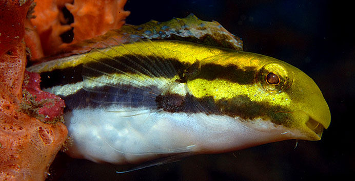 Yellow Sabre-Tooth Blenny, Petroscirtes fallax - copyright Ken Knezick, Island Dreams