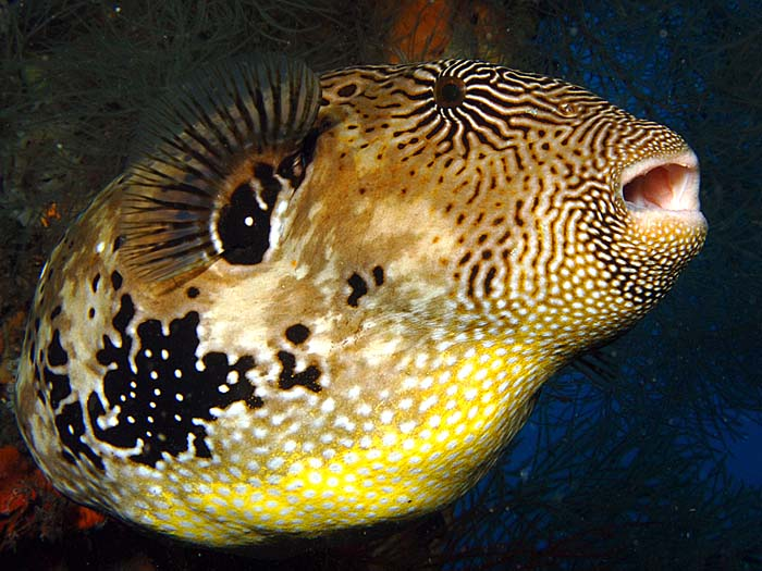 Map Pufferfish - copyright Ken Knezick, Island Dreams