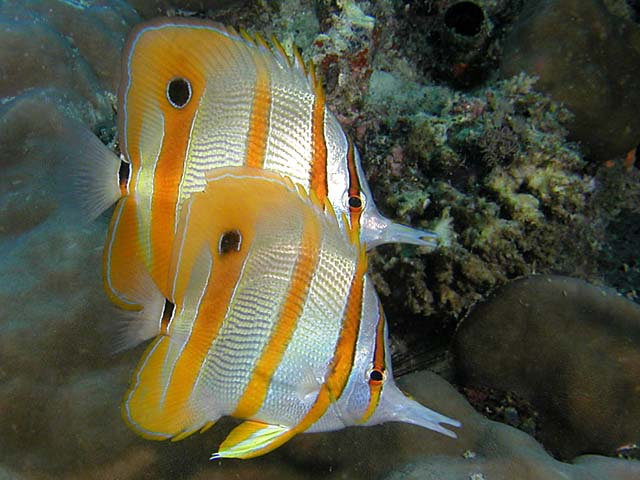 Pair of Beaked Coralfish - Copyright Ken Knezick