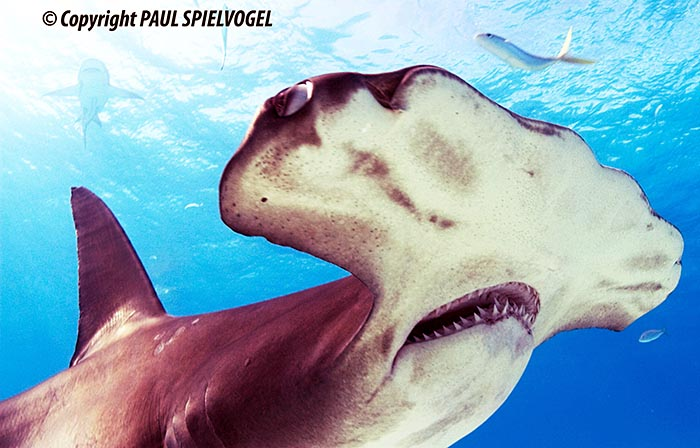 Great Hammerhead Shark - copyright Paul Spielvogel