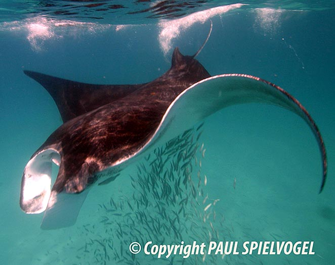 Manta Ray - copyright Paul Spielvogel
