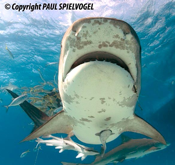 Tiger Shark - copyright Paul Spielvogel
