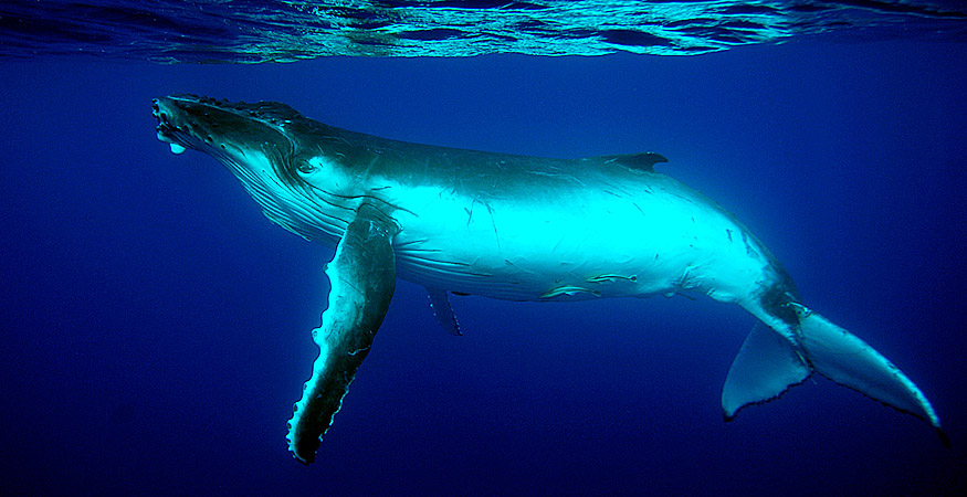 Tonga Whale Report - copyright Ken Knezick, Island Dreams