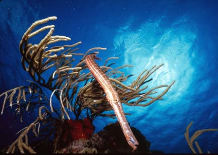 Trumpet Fish in Soft Coral
