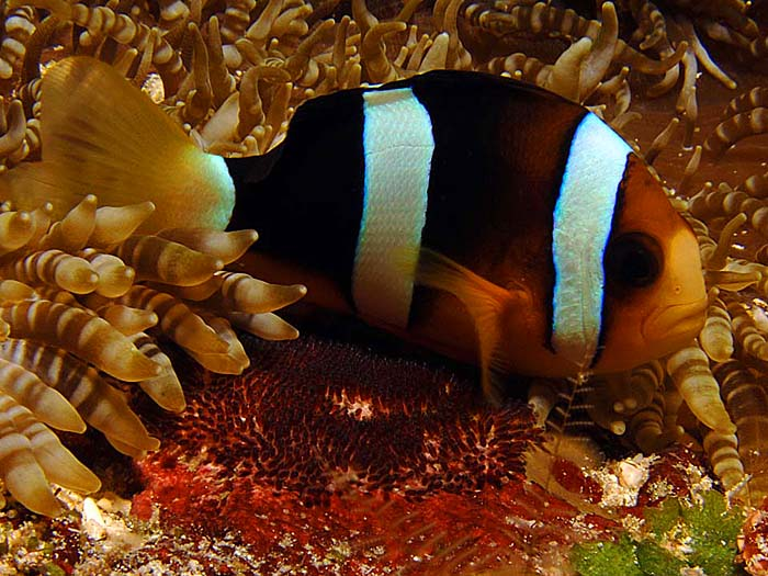Clark's Anemonefish Guarding Egg Cache, Amphiprion clarkii - copyright Ken Knezick, Island Dreams