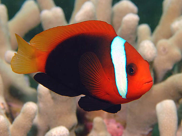 Black Anemonefish, Amphiprion melanopus - copyright Ken Knezick, Island Dreams