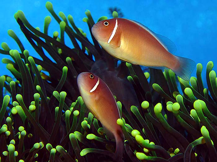 Pair of Pink Anemonefish,Amphiprion perideraion - copyright Ken Knezick, Island Dreams