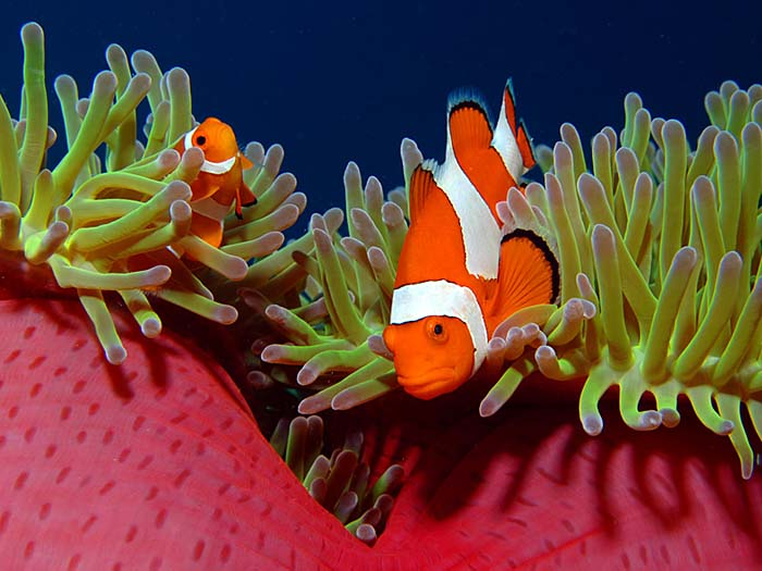 Pair of False Clownfish, Amphiprion ocellaris - copyright Ken Knezick, Island Dreams