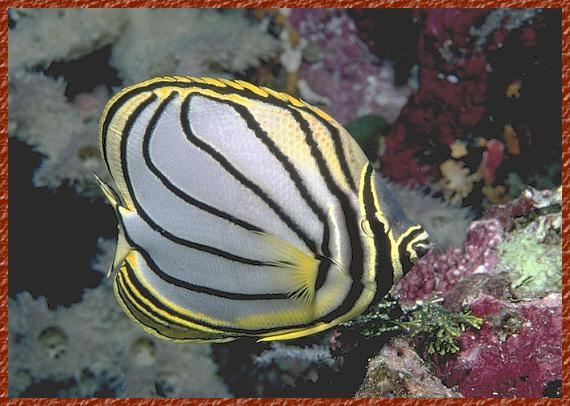 Meyer's Butterfly Fish