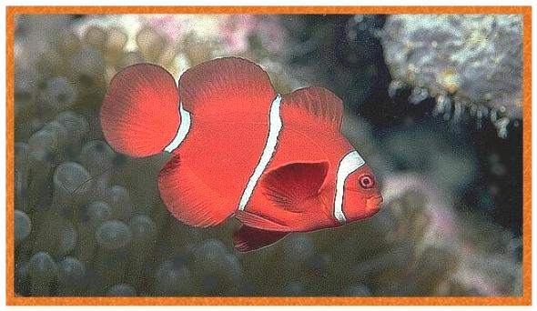 Spine-cheek Clownfish