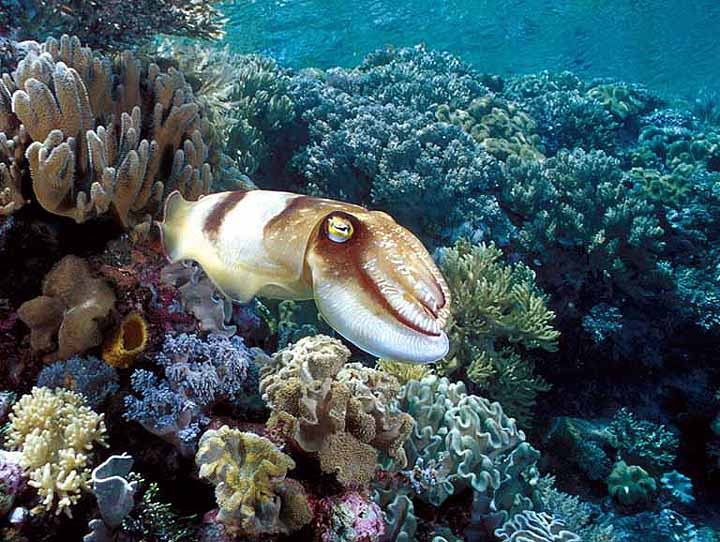 Soft corals and inquisitive cuttlefish at Wakatobi, Indonesia