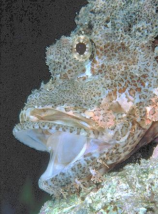 The Scorpion Fish Roars