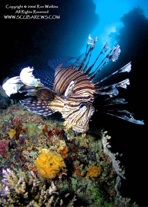 Lionfish on the Hunt - copyright Ron & Heidi Watkins - Scubarews