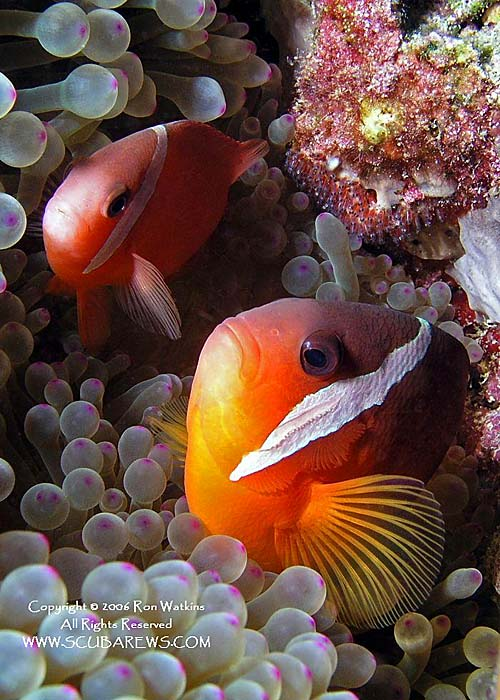 Pair of Curious Anemonefish - copyright Ron & Heidi Watkins - Scubarews