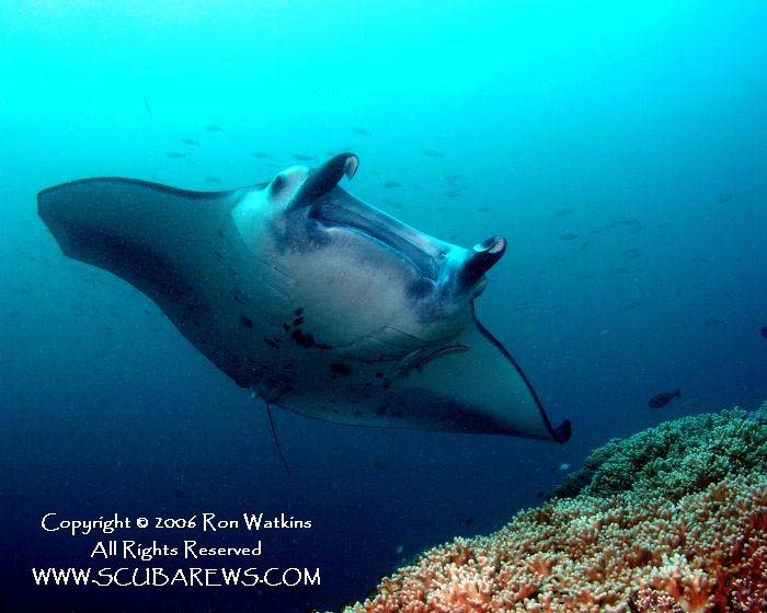 Giant Manta Ray in Fiji - copyright Ron & Heidi Watkins - Scubarews