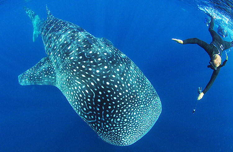 Whale Shark at Isla Mujeres, Mexico - copyright Ken Knezick, Island Dreams