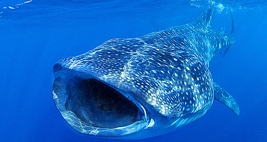 Whale Shark in Isla Mujeres - copyright Ken Knezick, Island Dreams