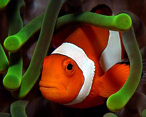 Clown Fish -- photo copyright Ken Knezick, Island Dreams
