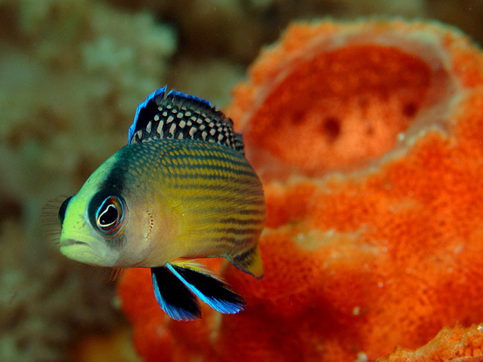Splendid Dottyback and Orange Sponge - copyright Ken Knezick, Island Dreams