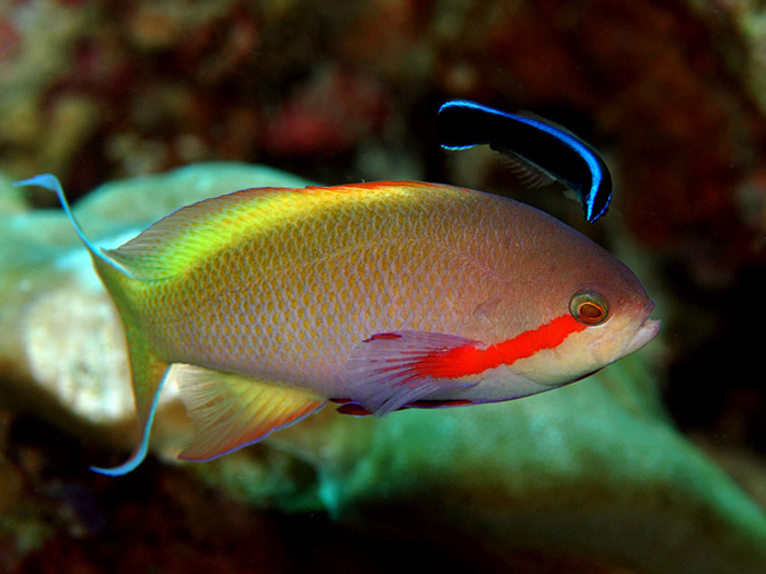 Anthias and Cleaner Wrasse - copyright Ken Knezick, Island Dreams