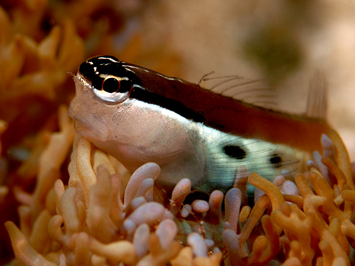 A Tiny Blenny - copyright Ken Knezick, Island Dreams