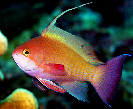 Wakatobi Anthias - Copyright 2008, Ken Knezick, Island Dreams