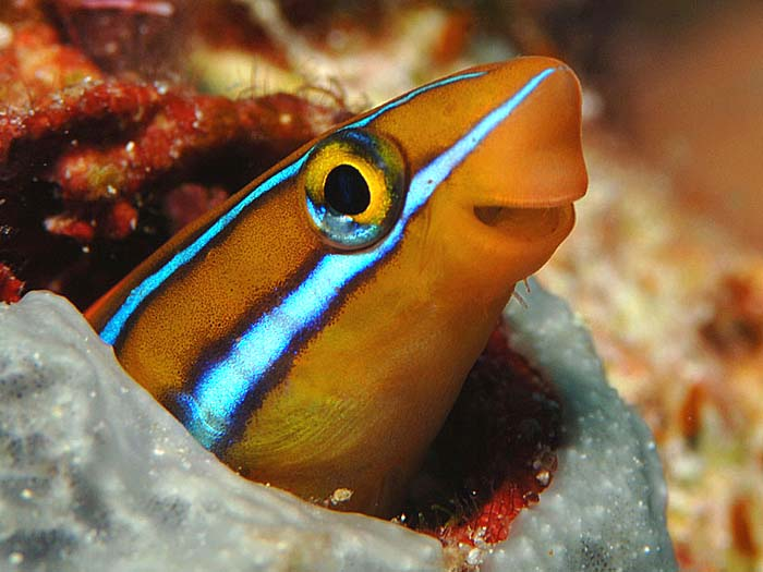 Barnacle Blenny - copyright Ken Knezick, Island Dreams