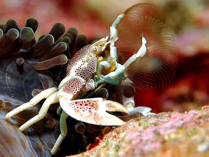 Porcelain Crab - copyright Ken Knezick, Island Dreams