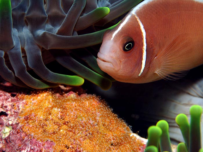 Clownfish with Eggs - copyright Ken Knezick, Island Dreams