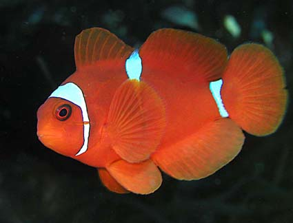 Wakatobi Clown Fish - Copyright Ken Knezick, Island Dreams