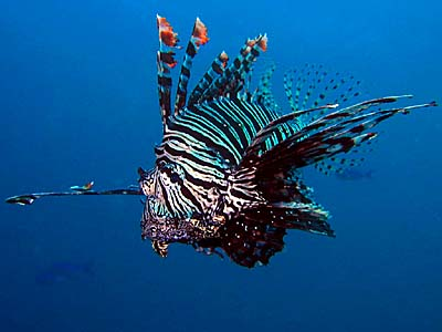 Wakatobi Lion Fish - Copyright Ken Knezick, Island Dreams
