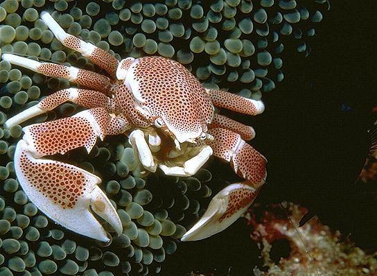 Komodo Island Anemone Crab